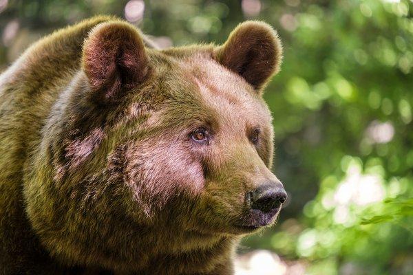 Медведь повадился ходить на кладбище за конфетами
