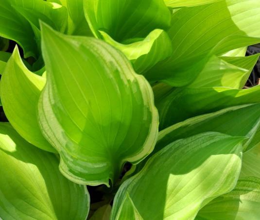 Хоста волнистая белоокаймленная (hosta undulata albomarginata)