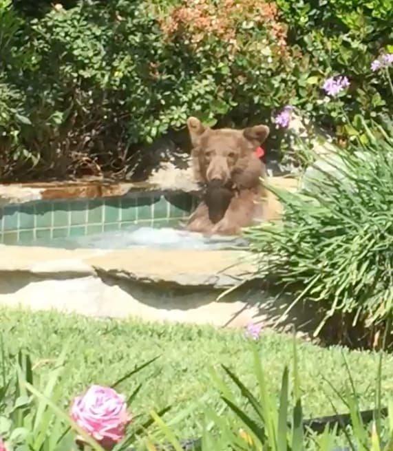 Медведь пробрался в джакузи жителя США и выпил его коктейль