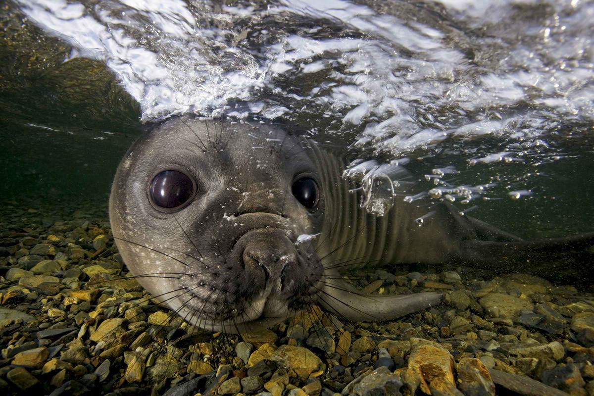 Сказочные снимки полярных животных Пола Никлена
