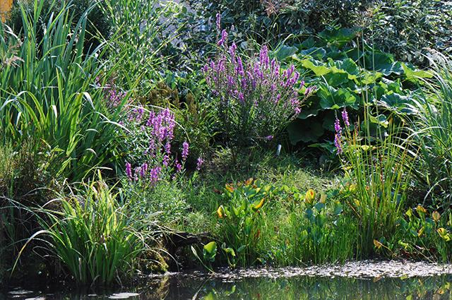 Плакун-трава. Многолетние дербенники не останутся незамеченными в саду