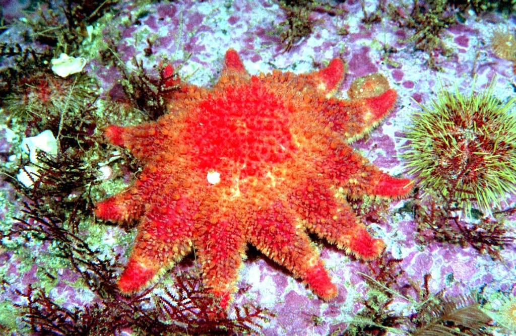 Красота подводного мира Камчатки дайвинг, животные, камчатка, подводный мир