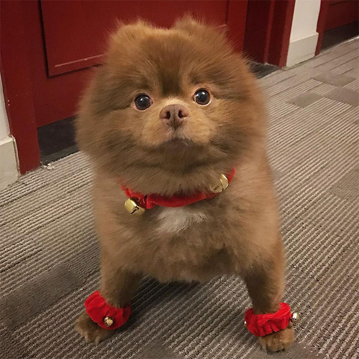 dog-cute-bertram-the-pomeranian-bertiebertthepom-2