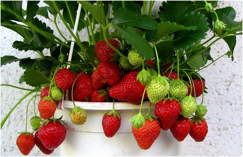 Способы выращивания садовой земляники в домашних условиях.