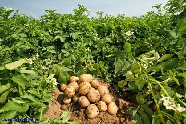 Девять советов по выращиванию картофеля