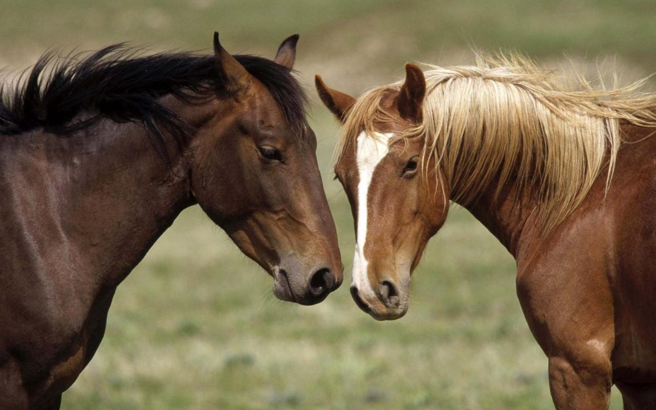 Одна из самых древнейших пород - арабская. лошади, факты, фото