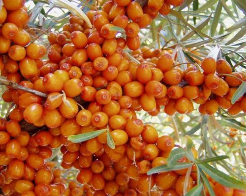 Облепиха.  Другие названия: восковуха, сибирский ананас, Джида, шырганак, тиженжиде, ивотерн и другие.