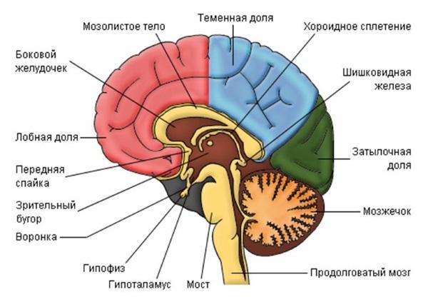 Какие гормоны действуют на женский организм