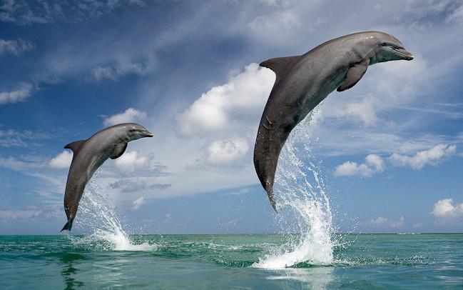 Тёмный дельфин дельфины, животные