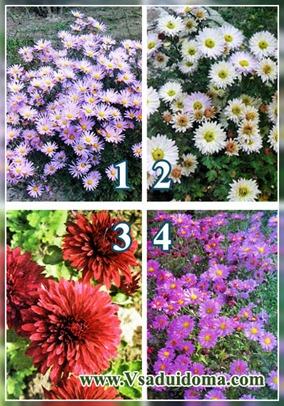 Хризантемы садовые — плюсы и минусы выращивания