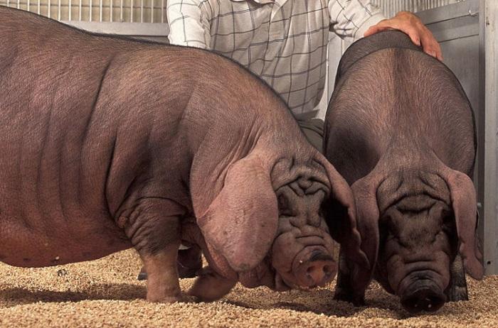 Ужасы генной инженерии: 7 самых страшных пород домашних животных