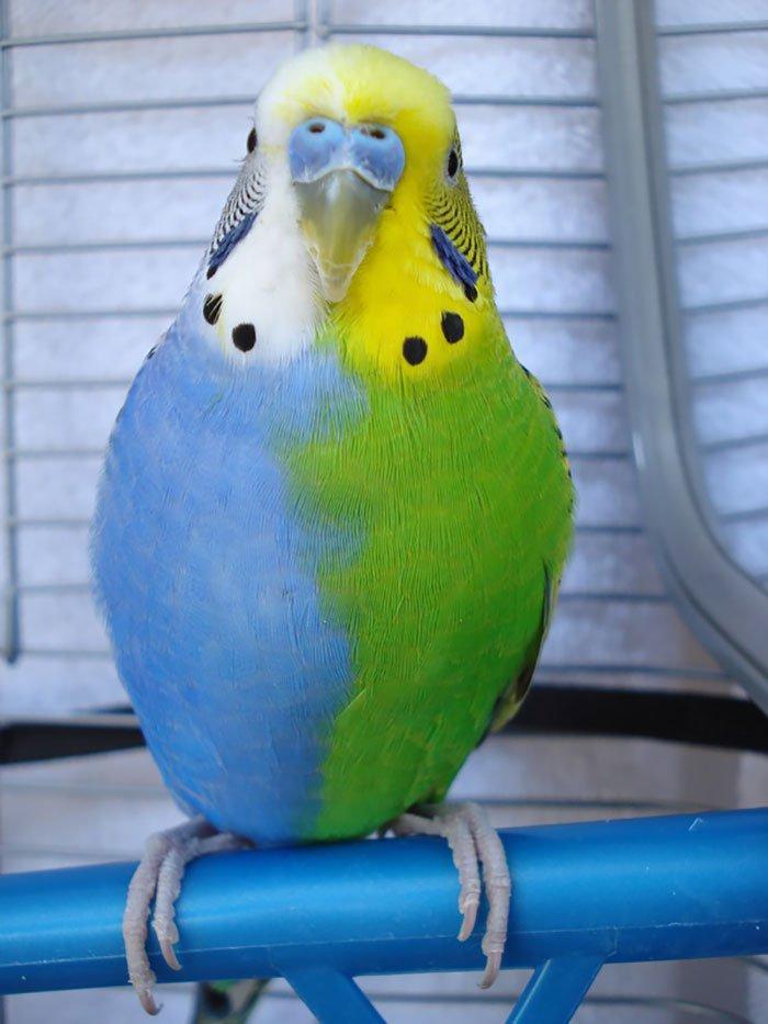 Голубо-зеленый длиннохвостый попугай