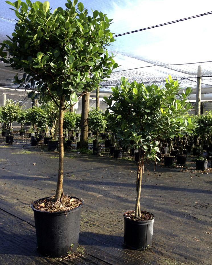 Фикус Бенджамина и каучуконосный — выращивание и уход за фикусом в домашних условиях