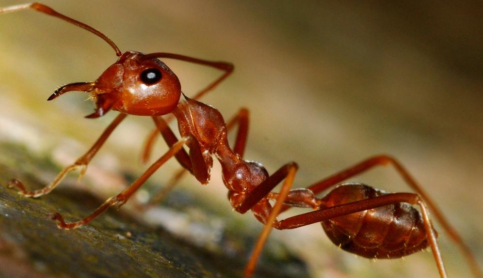 """""""Распределенный мозг"""" муравьиной семьи"""