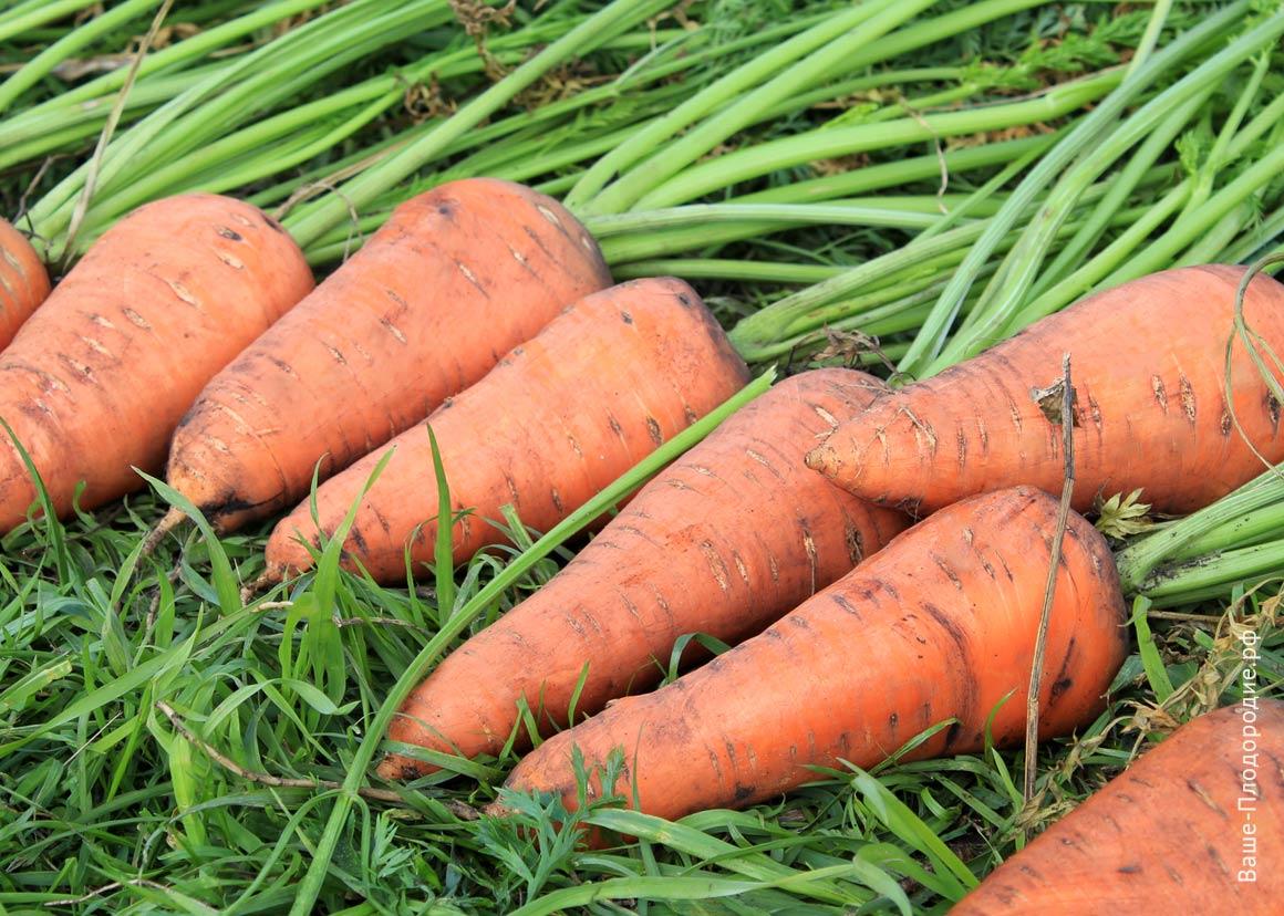 Поздний посев моркови. Летний эксперимент