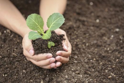 САД, ЦВЕТНИК И ОГОРОД. Правильное выращивание рассады капусты
