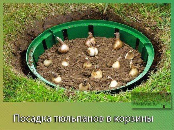 Интересное выращивание тюльпанов в корзинах