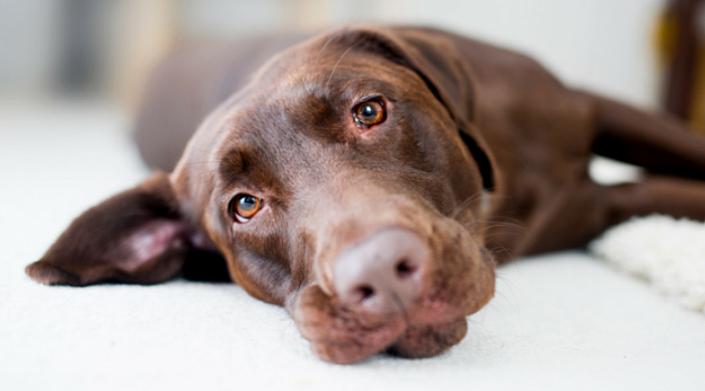 Дачная история про уставшую собаку
