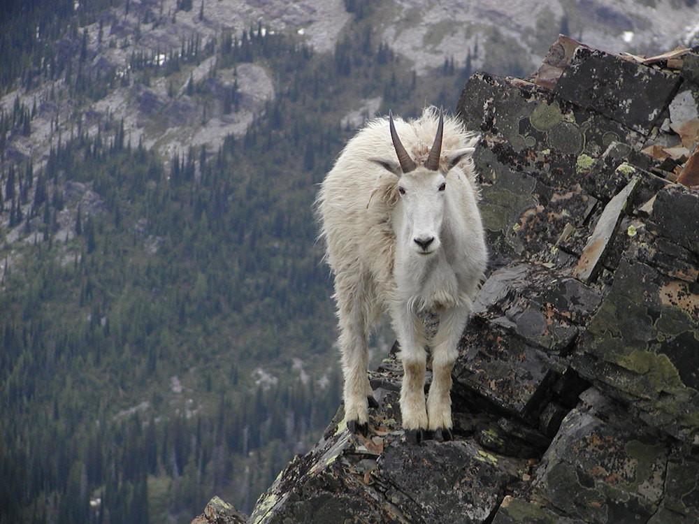 4. Горные козлы — животные, у которых напрочь отсутствует боязнь высоты. люди, мир, удивительные фотографии