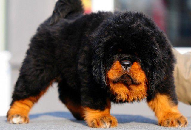 1. Тибетский мастиф Порода, собака