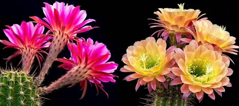 Как чудно цветут кактусы - просто завораживающая красота!