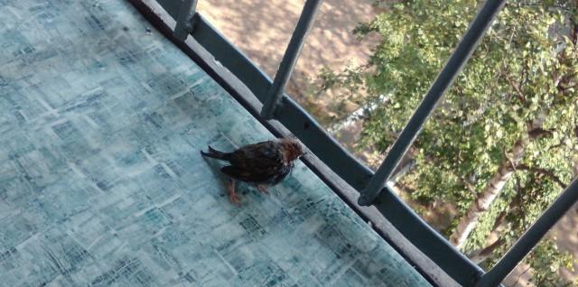 Мой крылатый друг, история о птенце воробья воробей, птенец