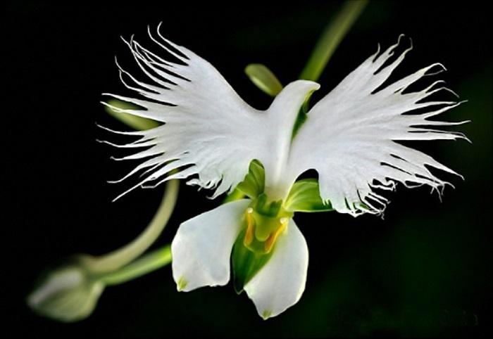 «Белая цапля» выглядит летящей и воздушной птицей.