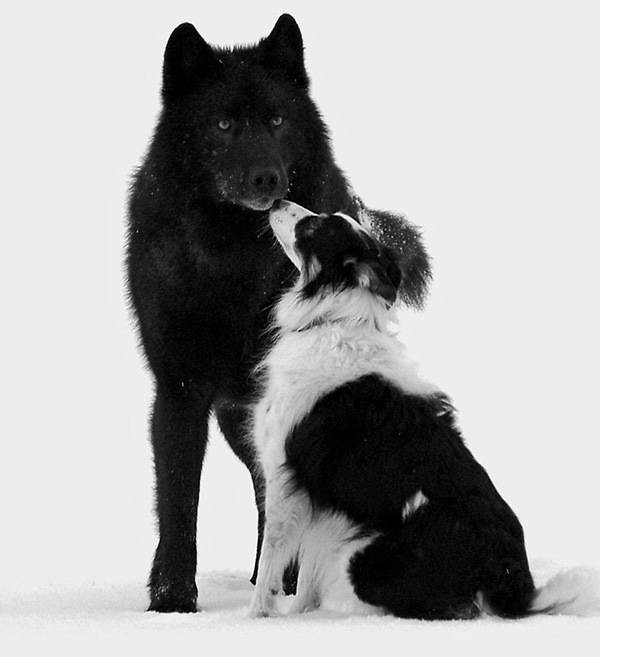Он смотрел,как дикий волк подошел его собаке. А потом случилось невероятное волк, животные, собака