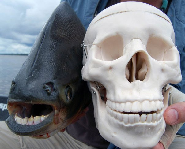 Рыба паку с человеческими зубами