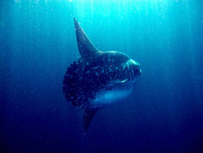 Удивительная рыба-луна