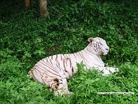 Белые тигры 12