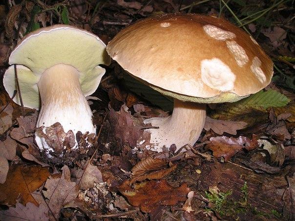 Выращиваем белый гриб
