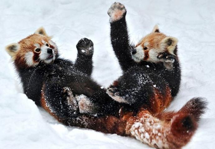 Битва красных панд