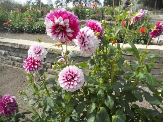 Заботы и хлопоты цветовода на сентябрь: все для обеспечения самого лучшего цветения в следующем сезоне