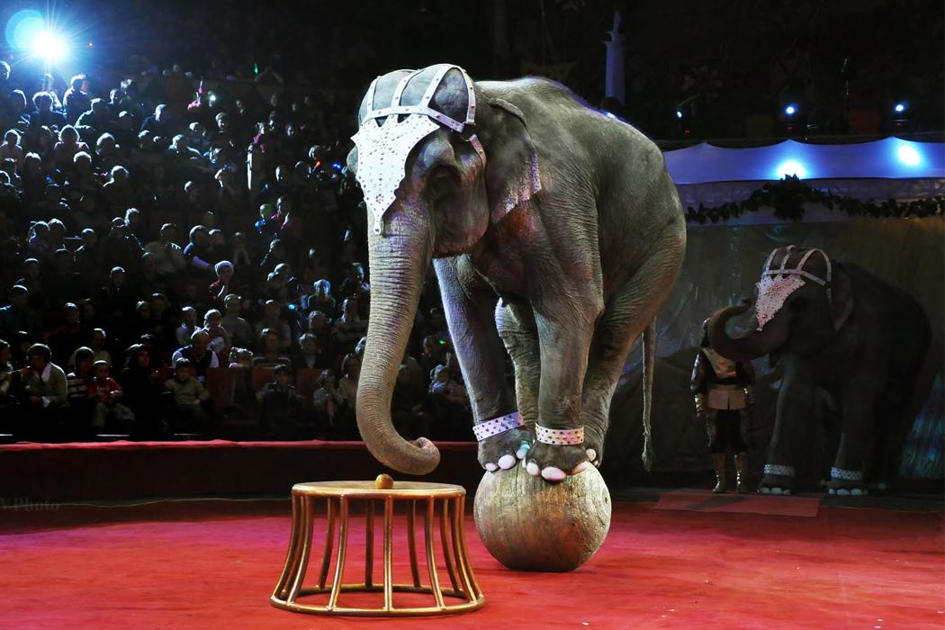 Почему цирк с животными – это отсталое и примитивное развлечение