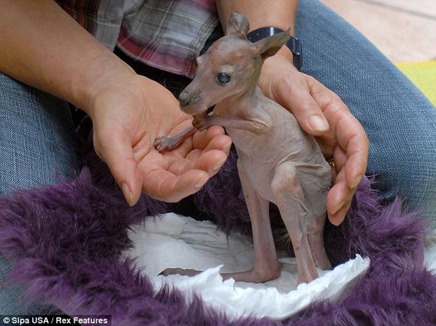12. Кенгуру. Животные без шерсти, Этот удивительный мир, животные