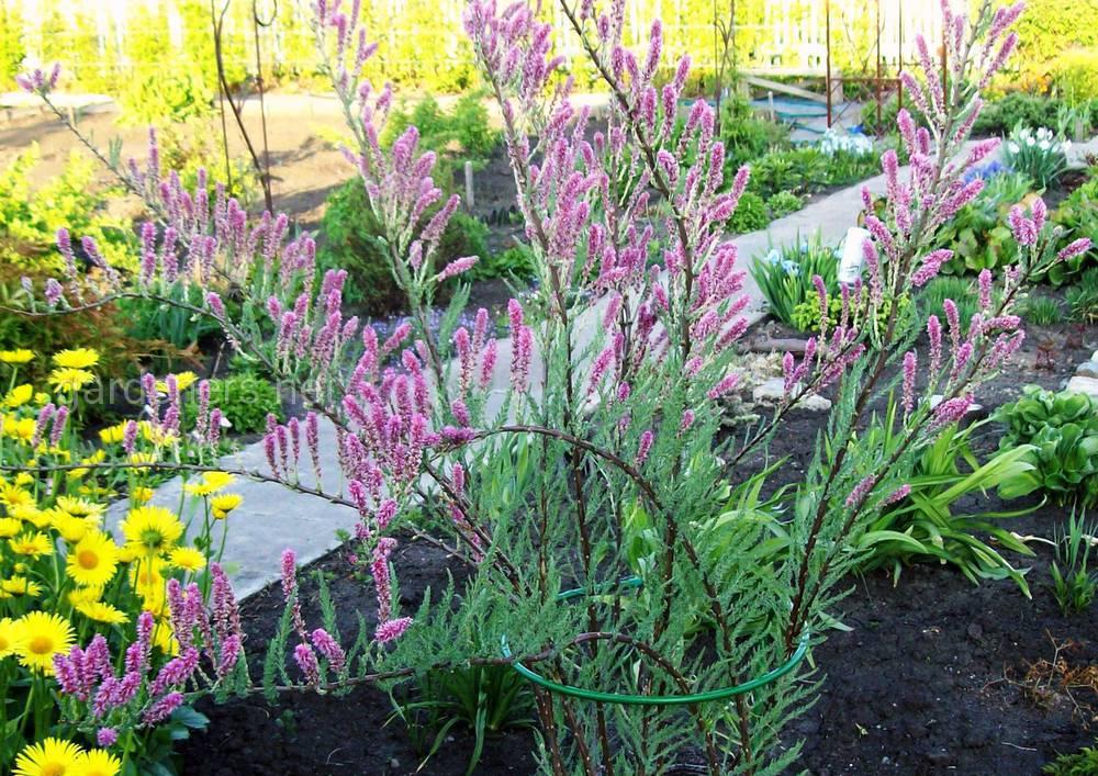 мирикария в саду