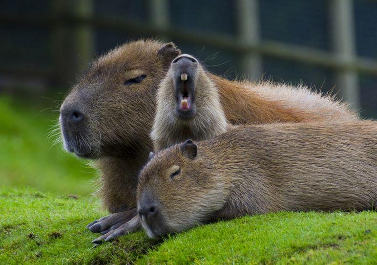 Животные зевают: часть третья