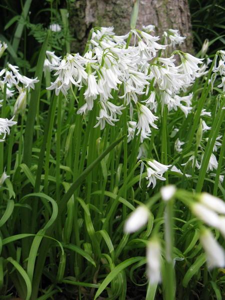 3_Allium (450x600, 291Kb)