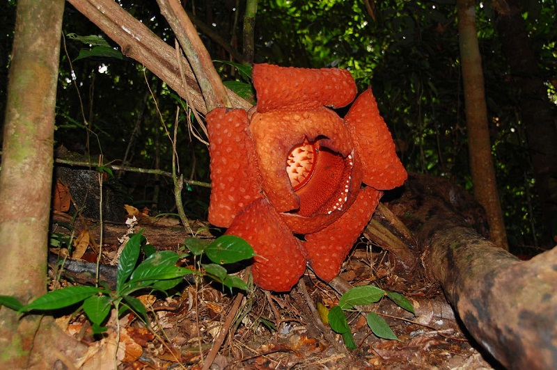 Самый большой цветок в мире - Раффлезия. Фото