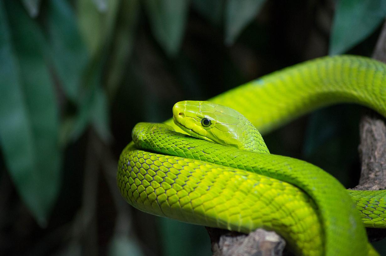 7. Узкоголовая мамба в мире, змея, красота