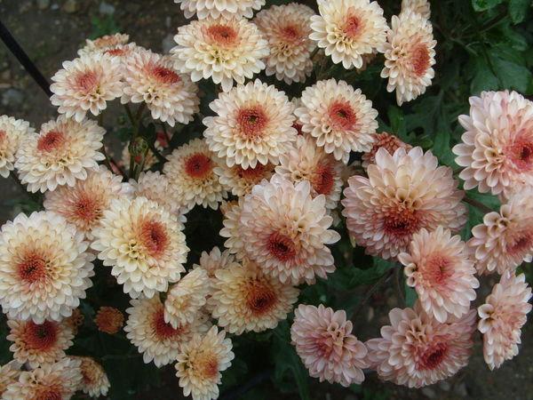 Хризантема сорт Рассвет