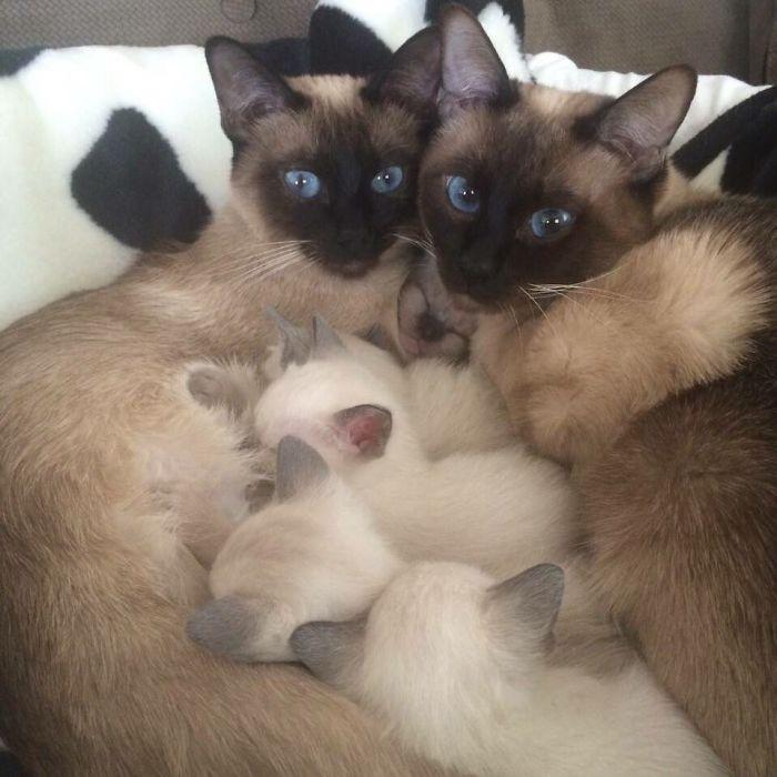 35. Сиамская семья котенок, кошка
