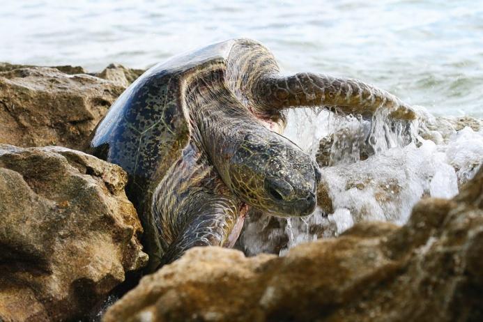 Молодая морская черепаха ждет, когда ее снова смоет с рифа волной