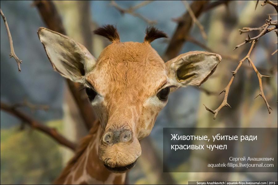 Животные, которых убили ради красивых чучел