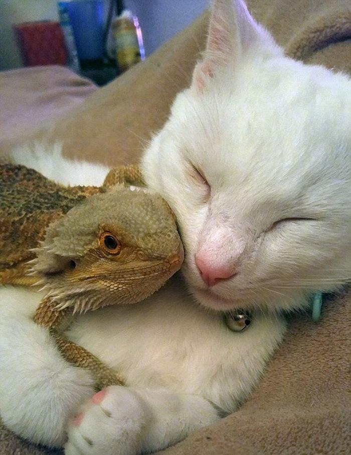 Дружба без границ: бородатый дракон и котенок