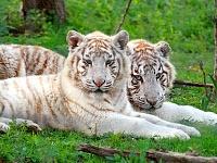 Белые тигры 6