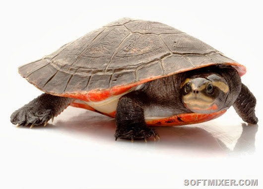 Red bellied Short-necked Turtles (Emydura subglobosa) LTC females
