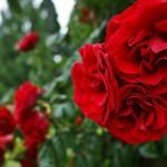 """Роза """"Amadeus"""""""