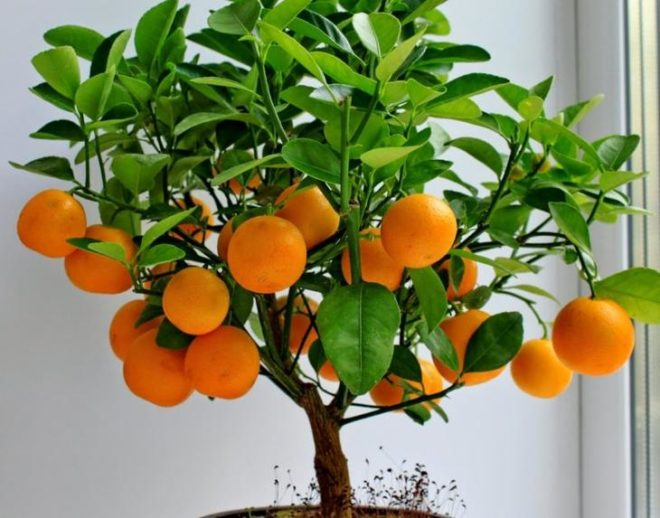 Маракуйя, лимоны, инжир и др…